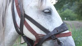 White horse harnessed stock video