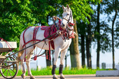 White horse harnessed, stands Royalty Free Stock Photo