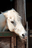 White Horse Head. Photo of a white horse's head in a stable Royalty Free Stock Photos
