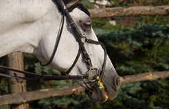 White horse. Head of a white horse Royalty Free Stock Photos