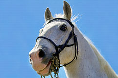 White horse. Blue background