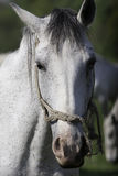White horse standing still. White horse head close up Royalty Free Stock Photos