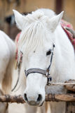 White horse head Close-up Royalty Free Stock Images