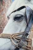 White horse head royalty free stock photo