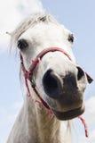 White horse head Royalty Free Stock Photos