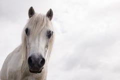 White horse head Stock Photography