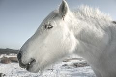 White horse head close-up Stock Photography