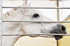 White horse head detail inside a farm Stock Photos