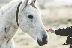 White Horse head hand touching Lifestyle animal and people Stock Photo