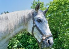 White horse head and neck profile in summer day, detail royalty free stock images