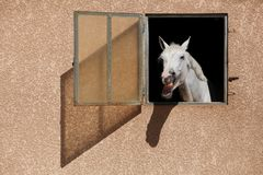 White horse with the head outside of the stable. Laughing white horse with the head outside of the stable Stock Photography