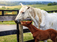 White horse and her colt Royalty Free Stock Images