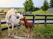 White horse and her colt Royalty Free Stock Photography