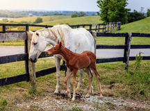 White horse and her colt Stock Images