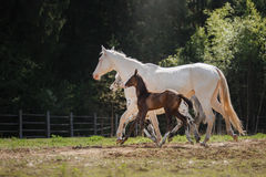 White horse and her little foal walk on the paddock Royalty Free Stock Image