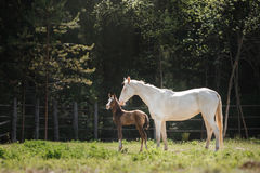 White horse and her little foal walk on the paddock Royalty Free Stock Photos