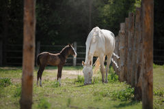 White horse and her little foal walk on the paddock Stock Images