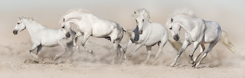 White horse herd run. In desert dust. Light panorama for web royalty free stock photo