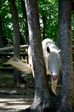 A white horse hides among trees Royalty Free Stock Image