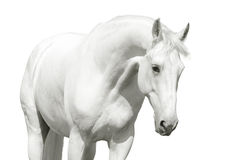 White horse high key. White horse in high key over a white Stock Photo