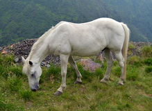 White horse in high mountains Stock Photography