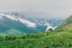 White horse in high mountains. White horse in high Caucasus mountains. Landscape photography Royalty Free Stock Photography