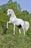 White horse on hill. White horse stand on hill Stock Photography