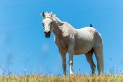 White horse on hillside field bird on back Stock Photos