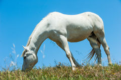 White horse on hillside field eating grass Royalty Free Stock Photography