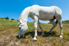 White horse on hillside field eating grass Stock Photography