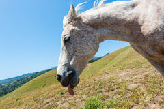 White horse on hillside field tongue out Stock Photography