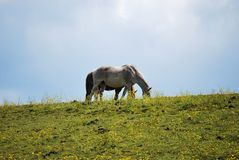 White horse on hilltop against sky Stock Images