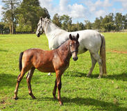 White horse with his bay colt Royalty Free Stock Images