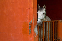 White Horse in his box. A white horse waiting in his orange box Stock Images