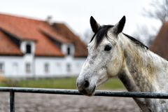 Horse on a paddock on a farm in eastern Poland Stock Photography