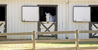 White Horse In Stable Royalty Free Stock Images