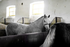 White Horse Inside A Stable Stock Images