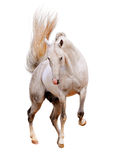 White horse isolated Stock Images