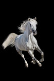 White horse isolated Stock Photos