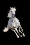 White horse isolated Royalty Free Stock Photo