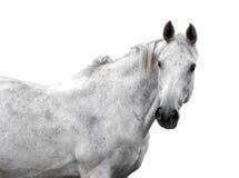 White horse  isolated Royalty Free Stock Images