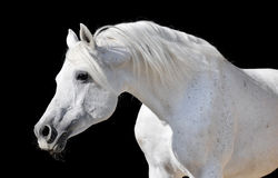White horse isolated on black. White arabian horse stallion portrait isolated on black Royalty Free Stock Photography