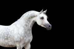 White horse isolated on black Royalty Free Stock Image