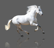 White horse isolated on the gray. White Andalusian horse isolated on the gray