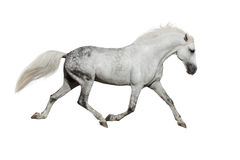 White horse isolated Royalty Free Stock Images