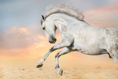 White horse jump Royalty Free Stock Photos