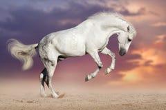 White horse jump. White horse run on sand against sunset sky stock photography