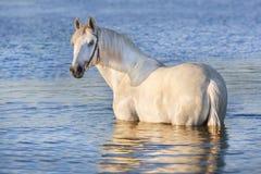 White horse in lake Royalty Free Stock Image