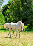 White horse on a leash on a green lawn Stock Photo