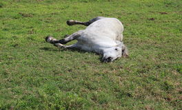 White horse lies down Royalty Free Stock Photos